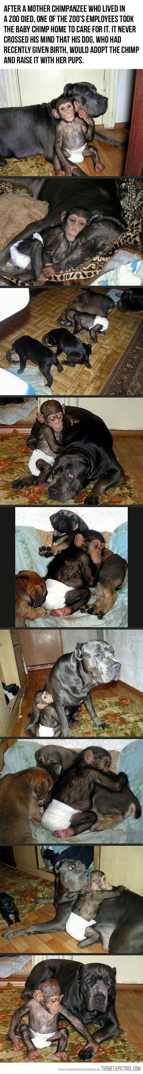 Куче осиновява бебе-шимпанзе